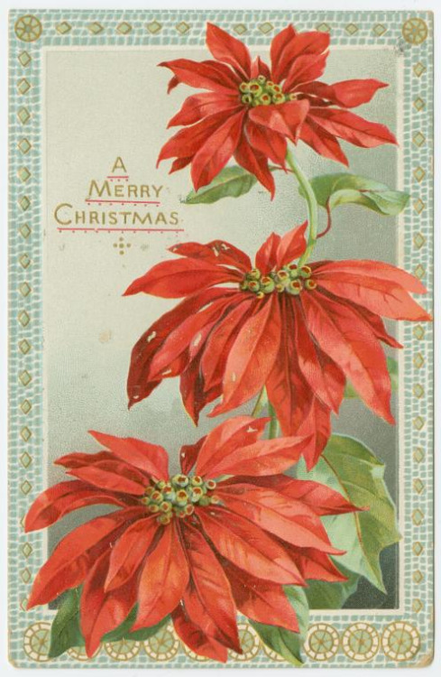 'A Merry Christmas' from 'The Poinsettia' series of Christmas postcards. Published by Raphael Tuck & Sons (circa 1911).