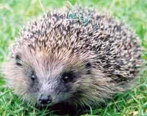 hedgehog5